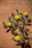 New Life in the Desert - Yellow Prickley Pea Cactus - Utah 2008