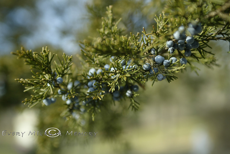 Berries on a Cedar Tree - MI 2007