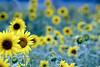 Sunflower Fields - Michigan