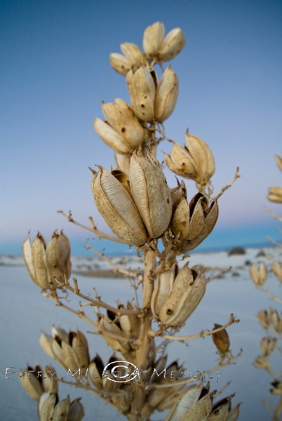 Desert Yucca Blooms - White Sands National Monument 2007