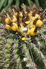 Saguaro Blooming in the Spring Time - Baja Mexico 2008