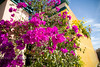 Bougainvillea in Baja Mexico - 2008