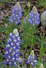 Little Lupine in Wyoming 2008