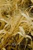 Dried Grasses in the Prairies of Kansas 2007