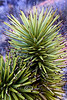 Spikey Looking Plant in Red Rock Canyon Nevada 2008