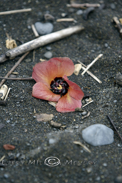 Washed Up Flower on the Black Sand Beaches of Maui 2006