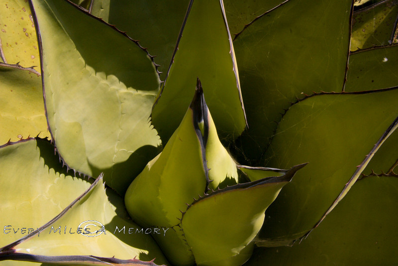Looking into an Agave Plant - Baja Mexico