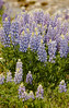 Roadside Lupine in Grand Teton National Park 2008