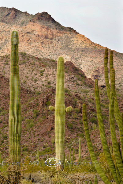 Warning Will Robinson - Giant Saguarro Cactus that looks like the Robot in Lost in Space