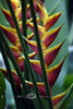 Bird of Paradise - Maui Rainforest 2006