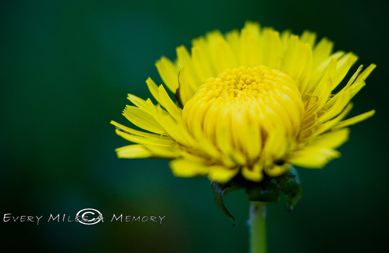 Just a Lonely Dandelion - Pennsylvania 2013