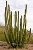 Giant Organ Pipe Cactus - Organ Pipe National Park AZ 2007