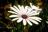 African Daisy - Palm Springs Florida