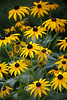 Bunch of Black Eyed Susans - MI 2008