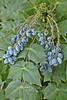 Leatherleaf Grape Holly, or Chinese Grape Holly. (Mahonia bealei)