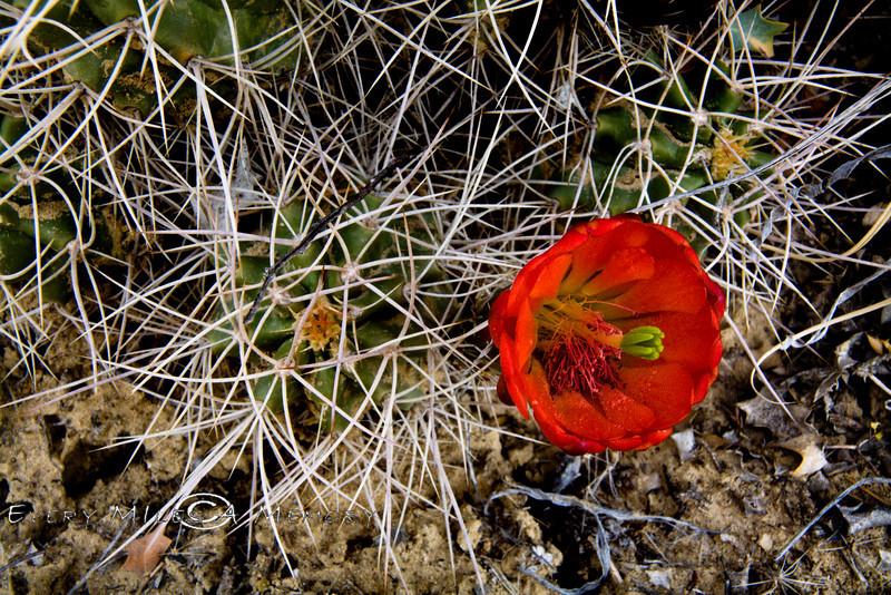 Prickly Pear Cactus Bloom - Utah 2008