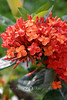Red-Yellow Ixora - Jamacia 2006