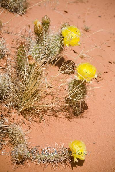 Trio of Yellow Prickley Pear Blooms - Utah Desert 2008