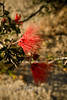 Callistemon rigidus or Bottle Brush Blooming in Baja Mexico 2008