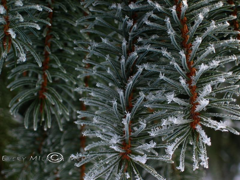 Frozen Pine Needles 2004
