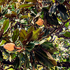 Magnolia, Jardin Public, Bordeaux, France
