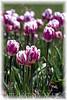 Tulip festival in Washington State