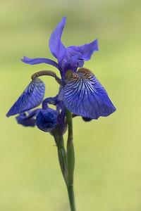 Perinnial Flowers