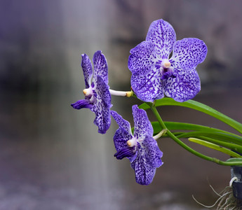 Orchid's