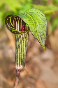 Jack-In-Pulpits