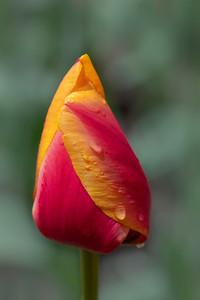 Tulips and Daffodis