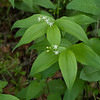 Slim solomon seal