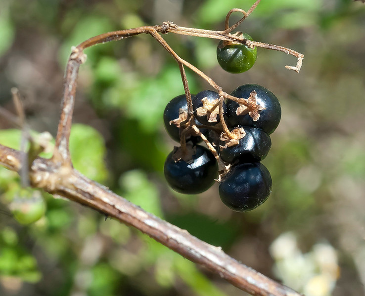Douglas nightshade berries