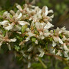 Coyote Bush - female flowers