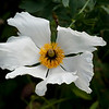 Coulter's Matilija poppy