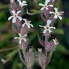 Windmill pink - Catchfly