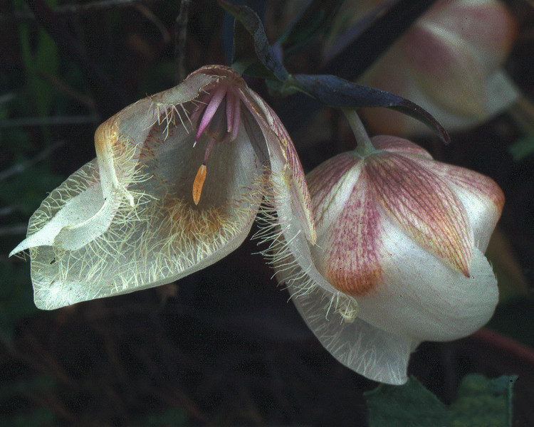 Globe lily - Fairy lantern