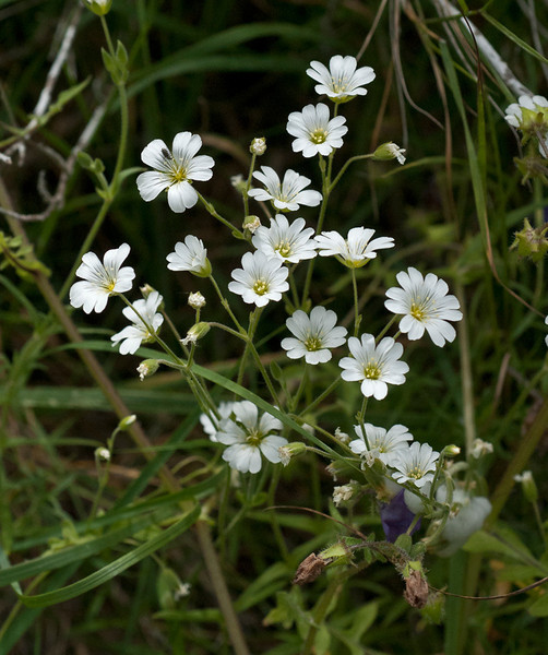 Field mouse-ear chickweed