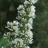 Coyote bush - female flowers