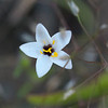 Common linanthus