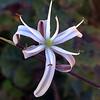 Amole - soap plant (Chlorogalum pomeridianum)