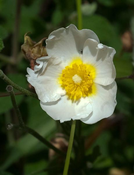 Sage-leaf rock-rose