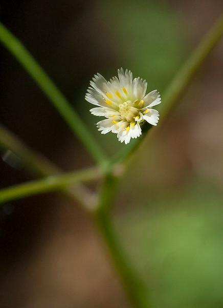 White-flowered hawkweed