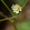 White-flowered hawkweed