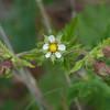 Leafy horkelia