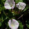 Coast morning glory - Bind weed