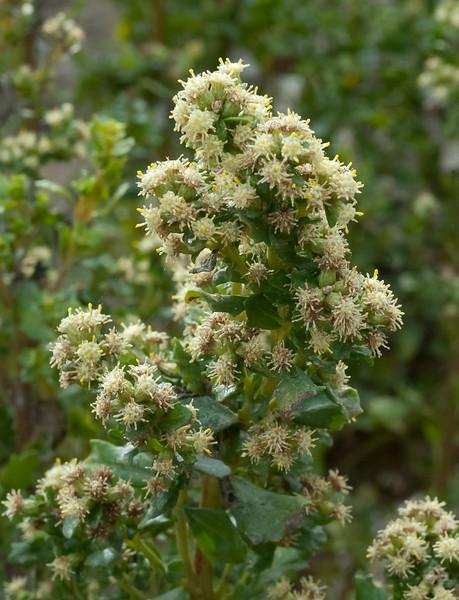 Coyote Bush -  male flowers