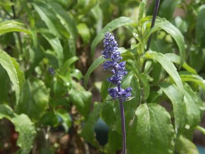 PICT0009 Salvia - Minolta DSC