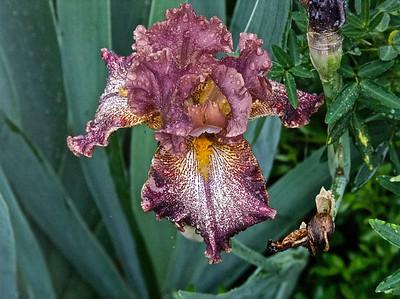 042210-05 Iris