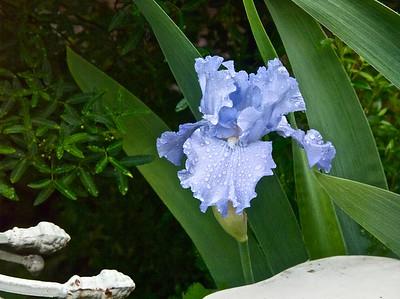 042210-03 Iris