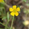 Yellow wood sorrel